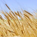 """The Oldest Cultivated Cereal in the World sparks new interest as a """"Super Grain"""""""