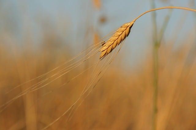 einkorn - oldest cereal in the world