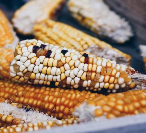 common corn ear rots