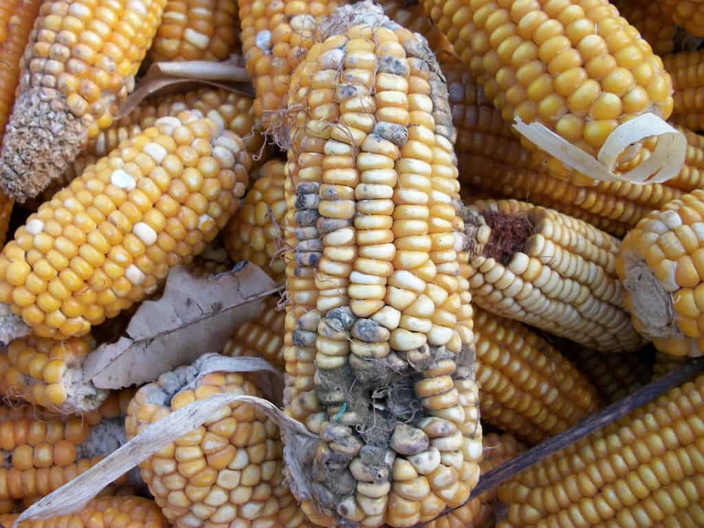 Maize cob with Aspergillus