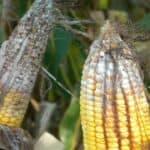 Dangerous corn ear rots: Fusarium