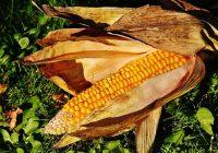healthy corn
