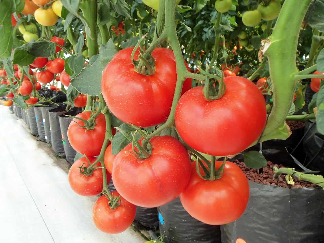 hydroponic warehouses - tomatoes culture