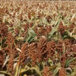 European program to promote sorghum launches in the summer of 2017