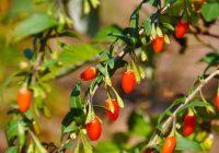 Lycium barbarum (Goji berries)