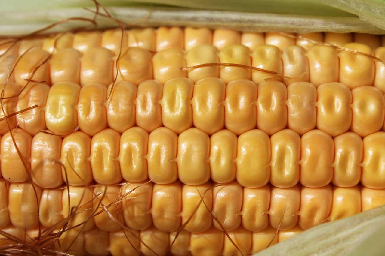 healthy corn cob