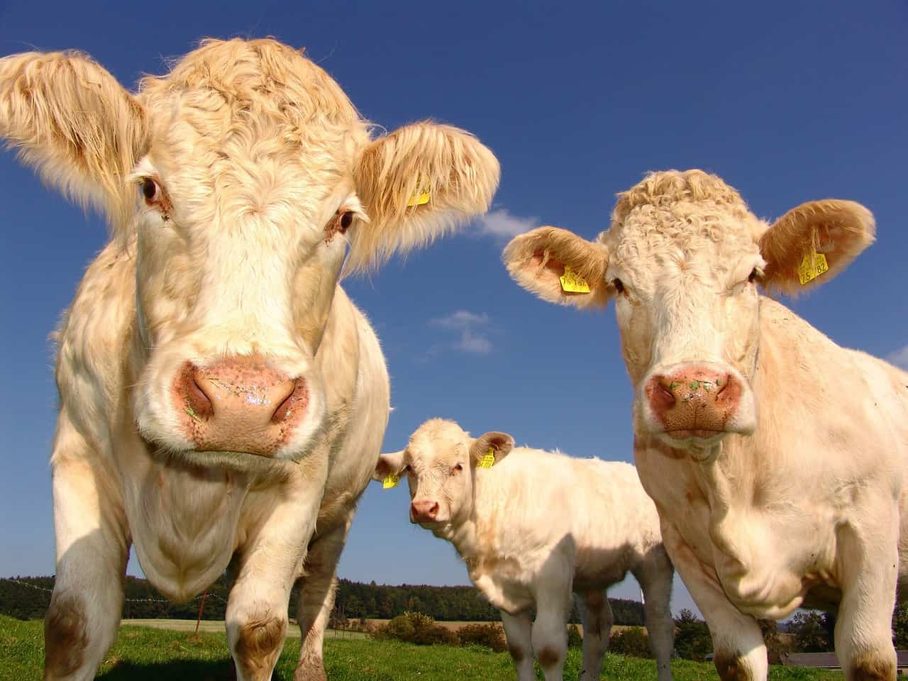 the biggest cows in the world