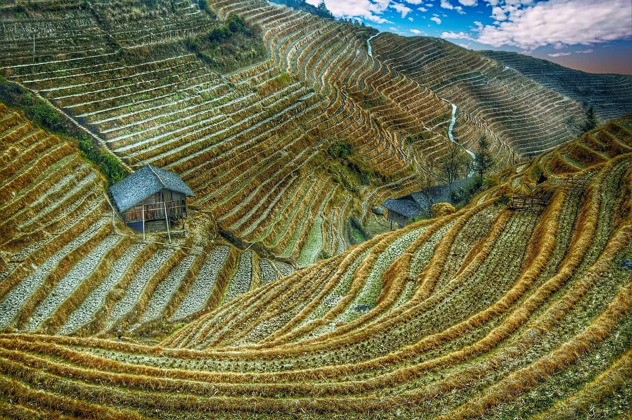 rice fields in China - global rice market