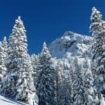 Most popular Christmas trees species