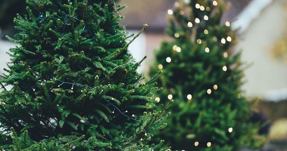 biggest Christmas trees