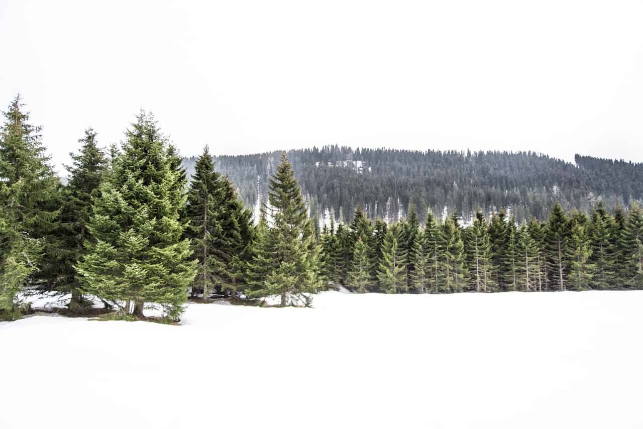 Christmas trees in their natural habitat