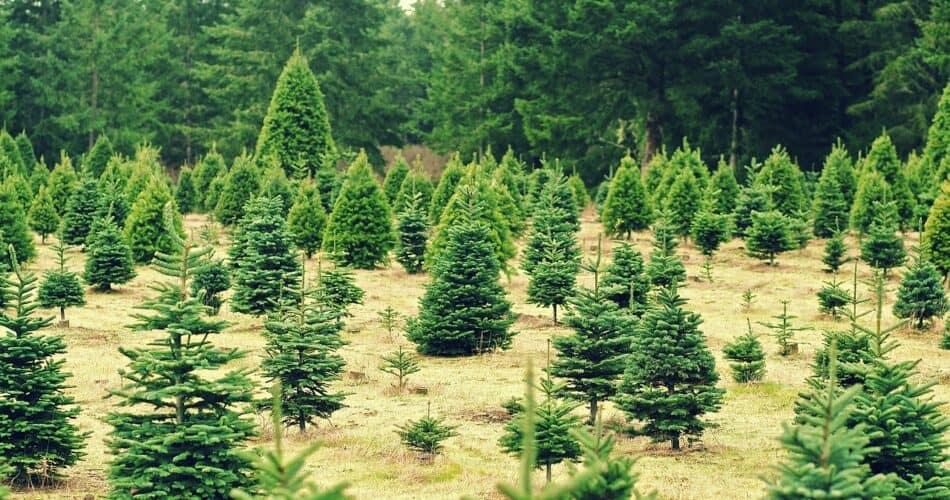 impact of Christmas trees