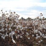 Famous agricultural areas in the world – Cotton Belt, USA
