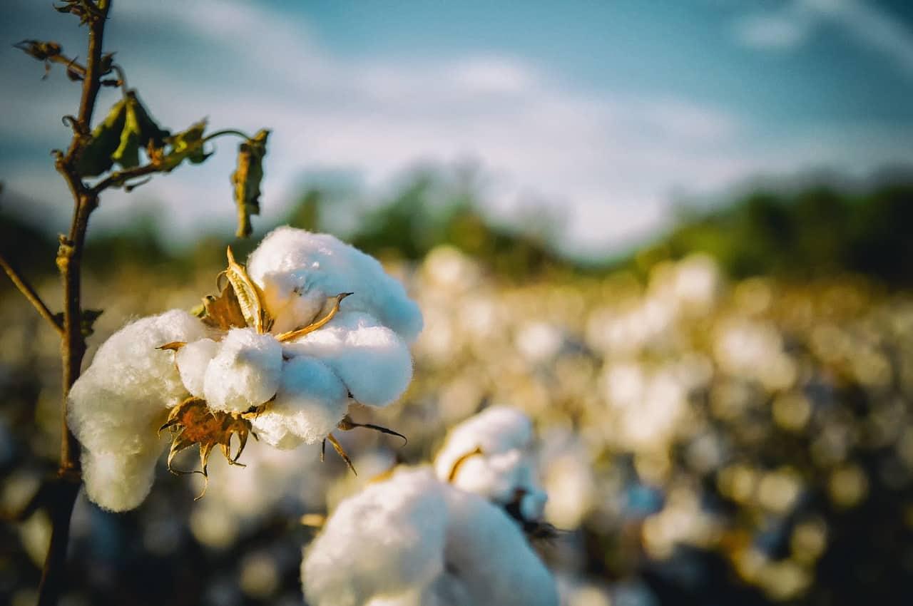 cotton growth South Alabama