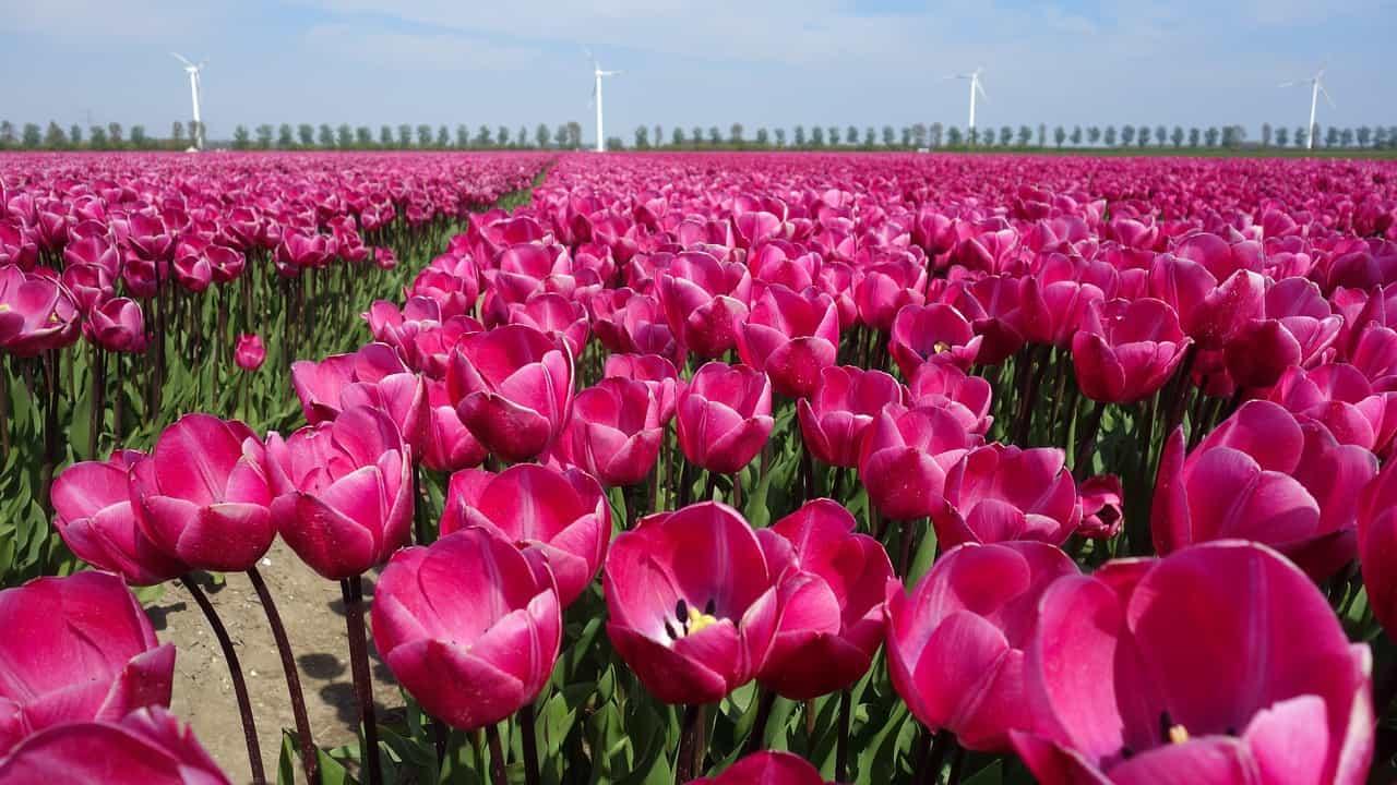 Bollenstreek tulips fields