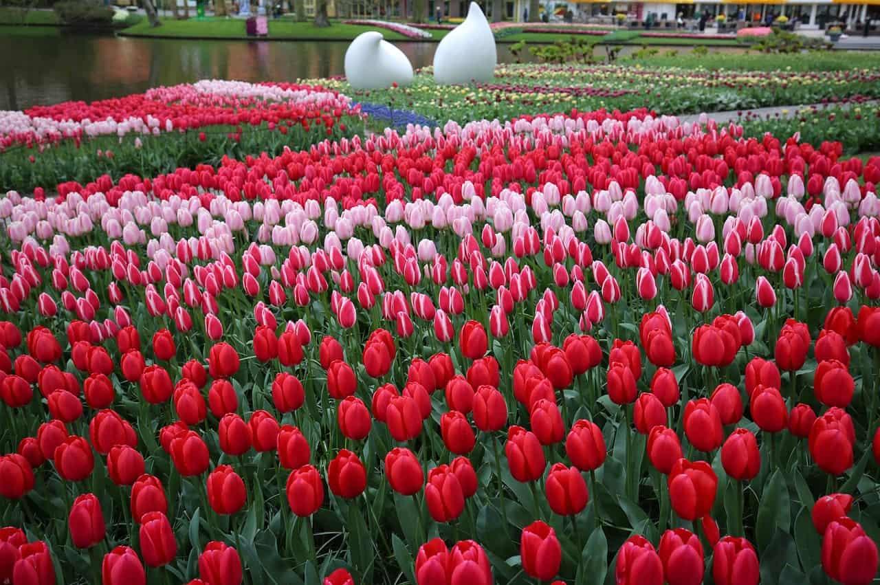 Keukenhof tulips fields