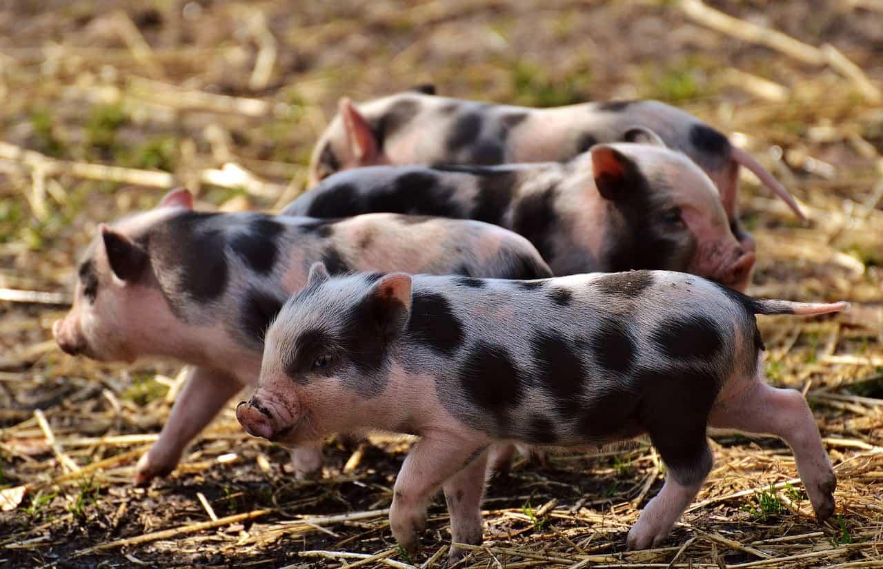 piglet disease prevention