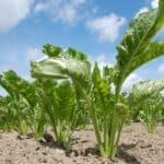 Building your successful sugar beet crop