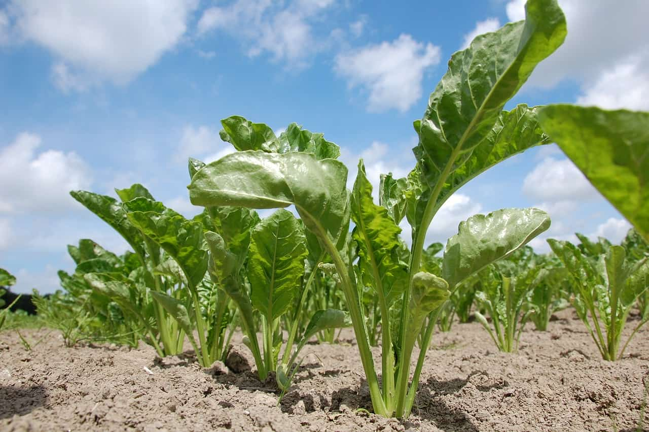 sugar beet crop