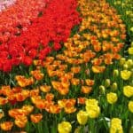 Top 11 Most Beautiful tulips fields in the Netherlands