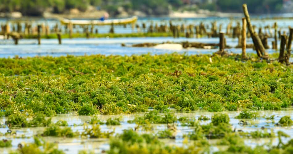 Algae Farm - algaulture