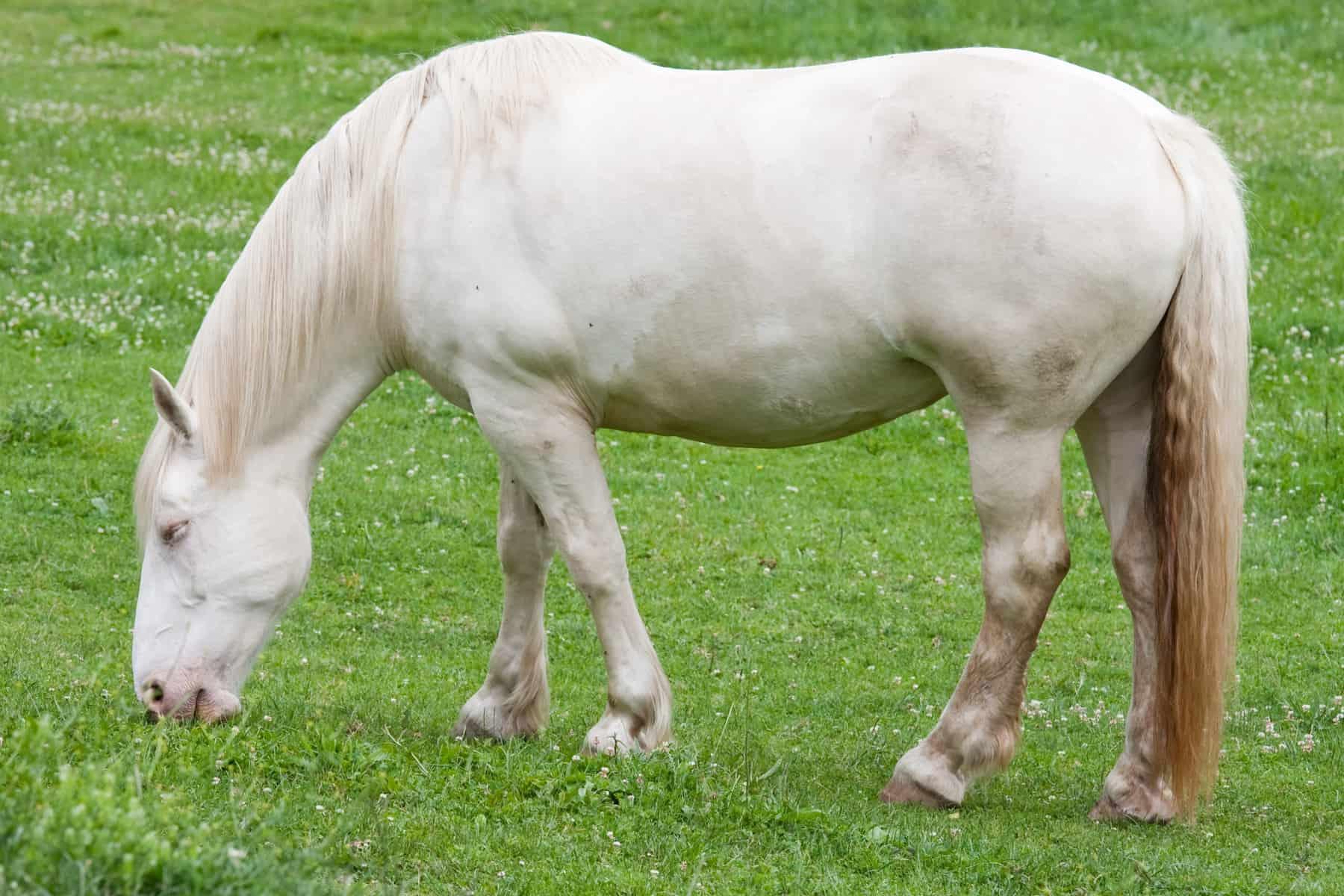 The American Cream Horse