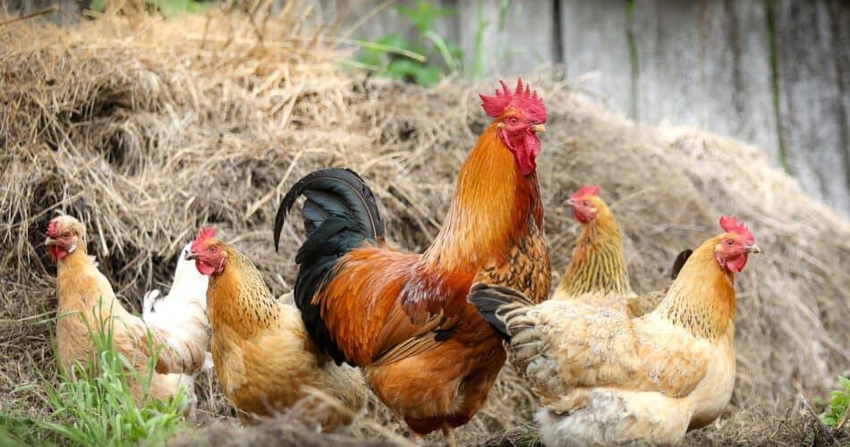 best-egg-laying-chicken-breeds