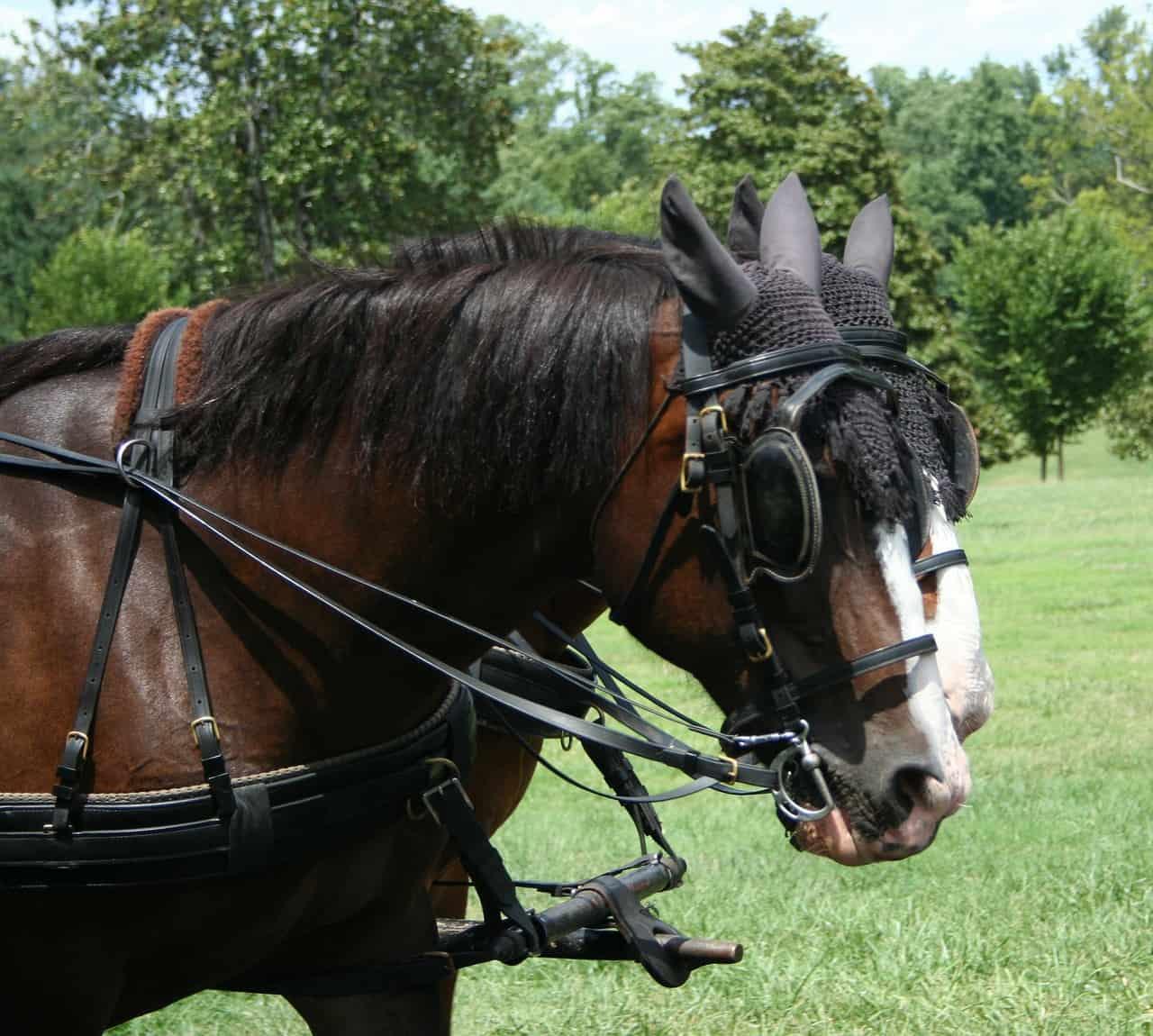 Hackney horse breed