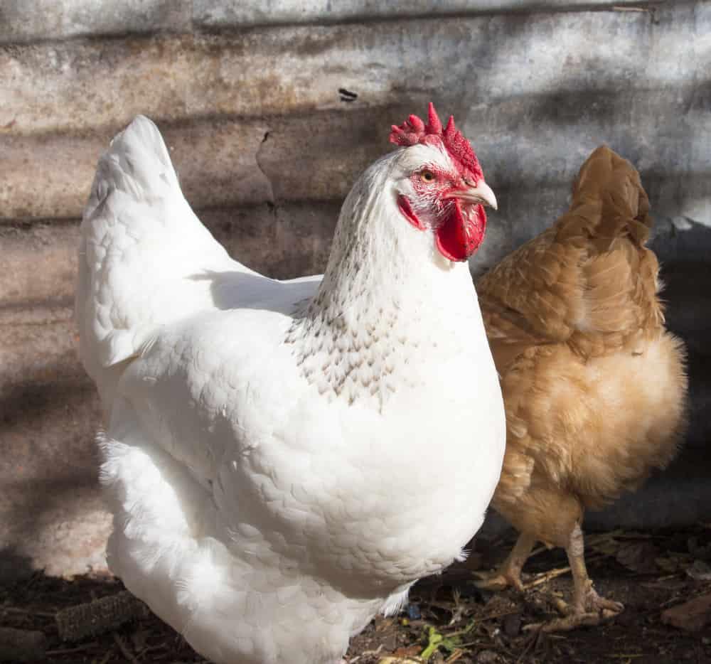 white leghorn chicken breed