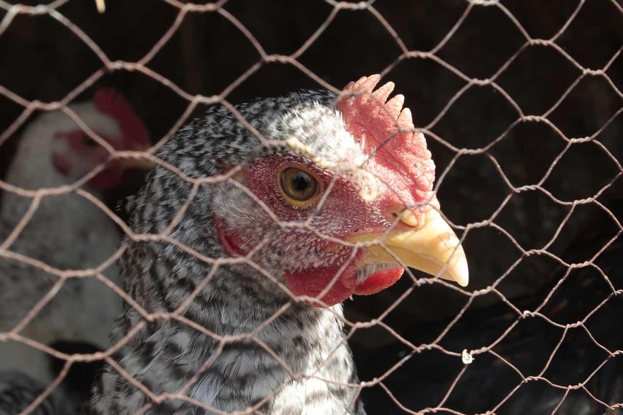 battery raised chickens