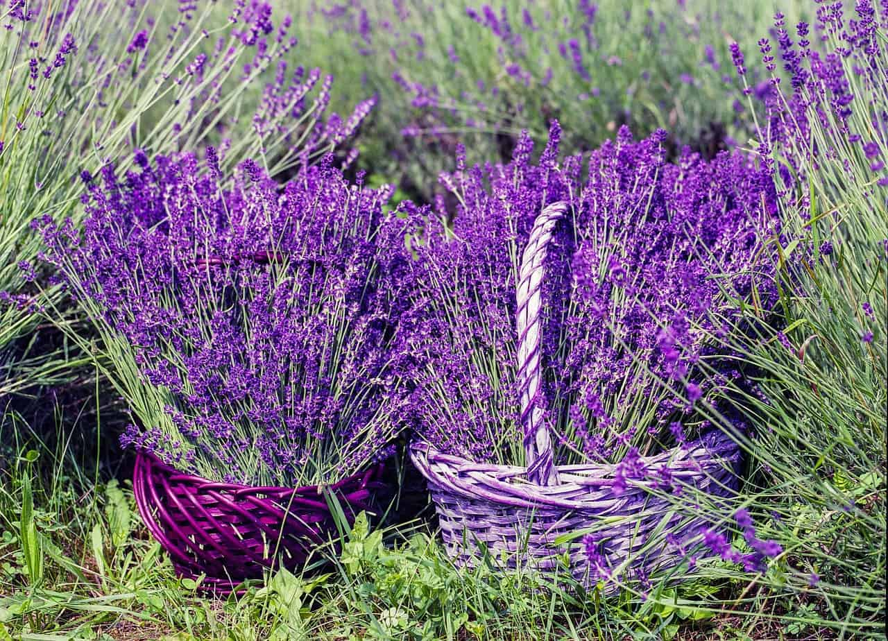types of lavender
