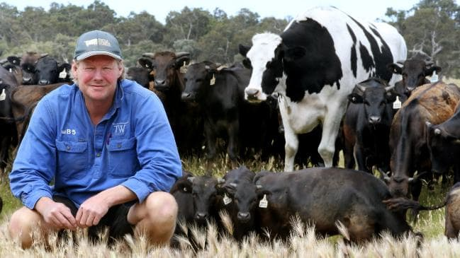 Knickers the biggest cow in Australia