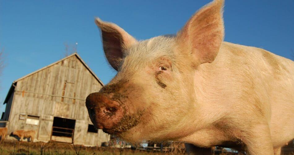 common pig diseases