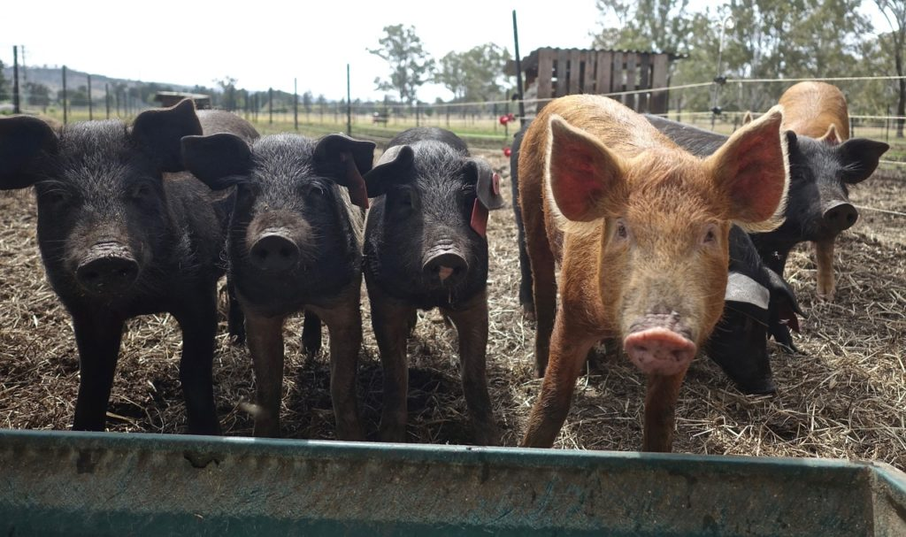 pig diseases prevention