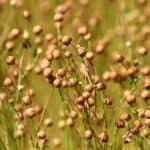 How to grow flax
