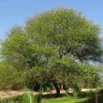 Gum Arabic – a steady investment opportunity for African farmers