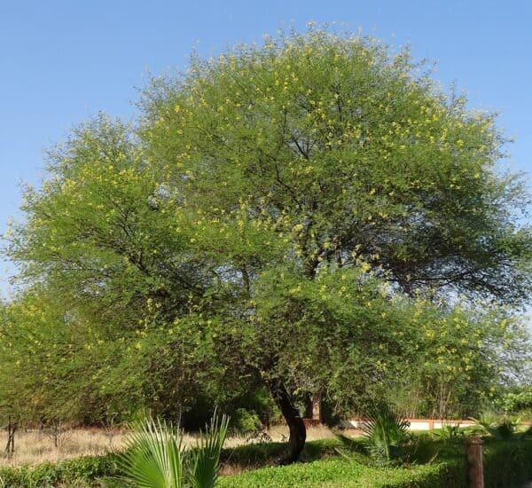gum arabic tree