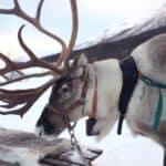 Reindeer farming – a cultural approach to herding reindeer