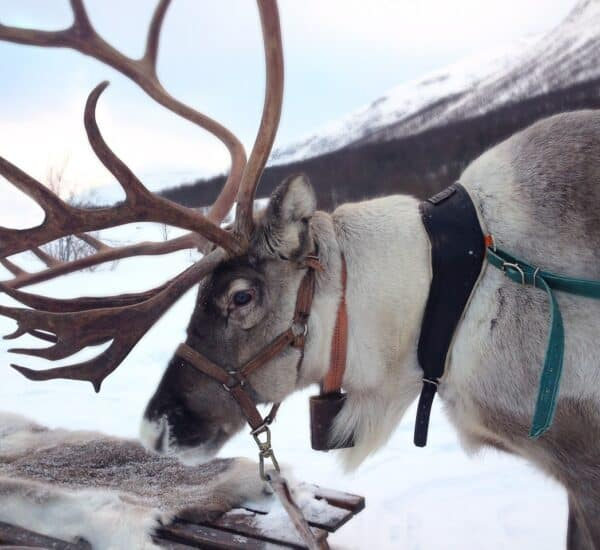 reindeer farming and culture