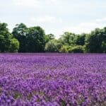 How to plant, care, grow and harvest lavender