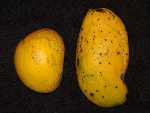 Madame Francique mango