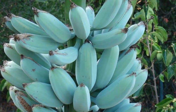 Blue Java bananas