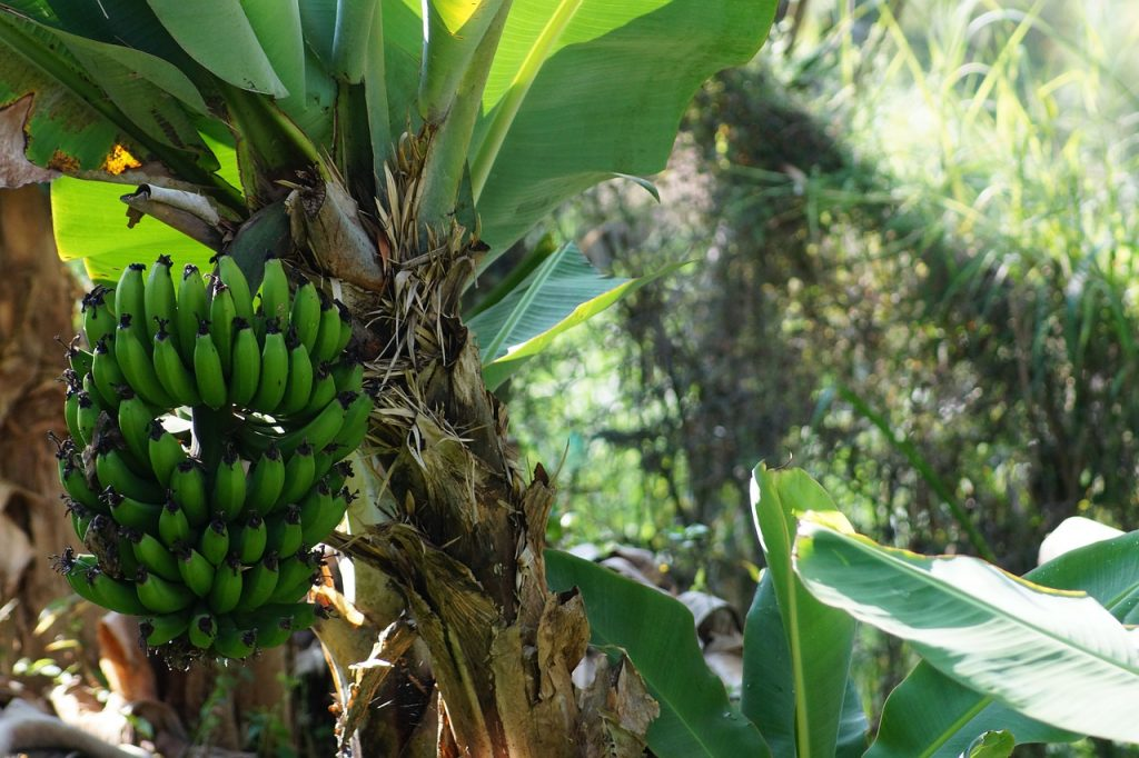 plantains bunch on tree