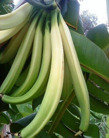 Rhino Horns bananas