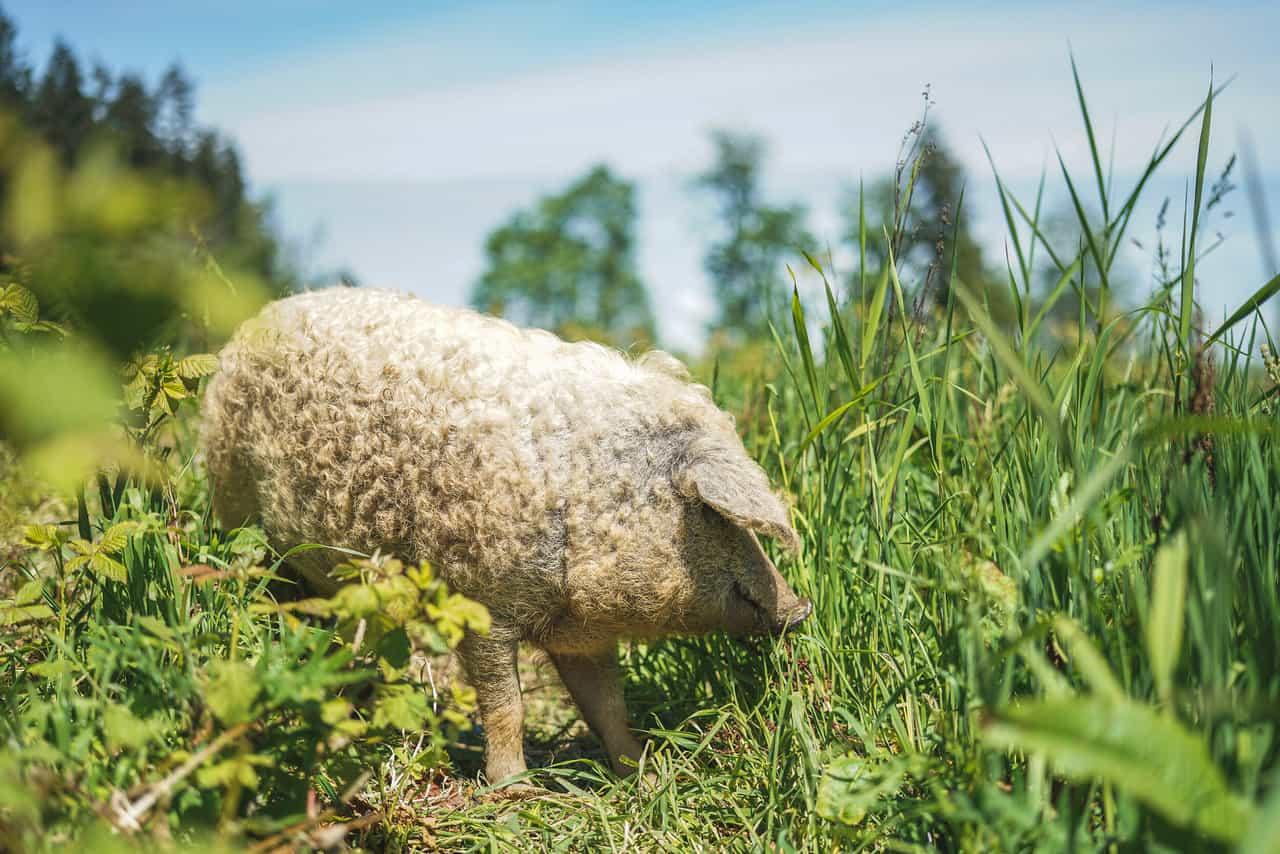 Feeding Mangalitsa Pigs
