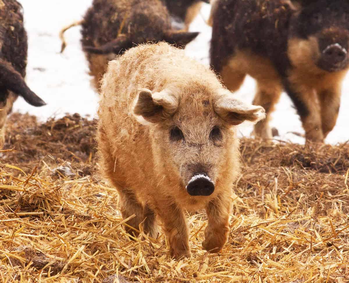 Mangalica Pork