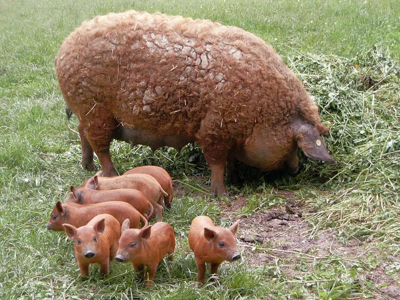 Mangalitsa Baby Pigs