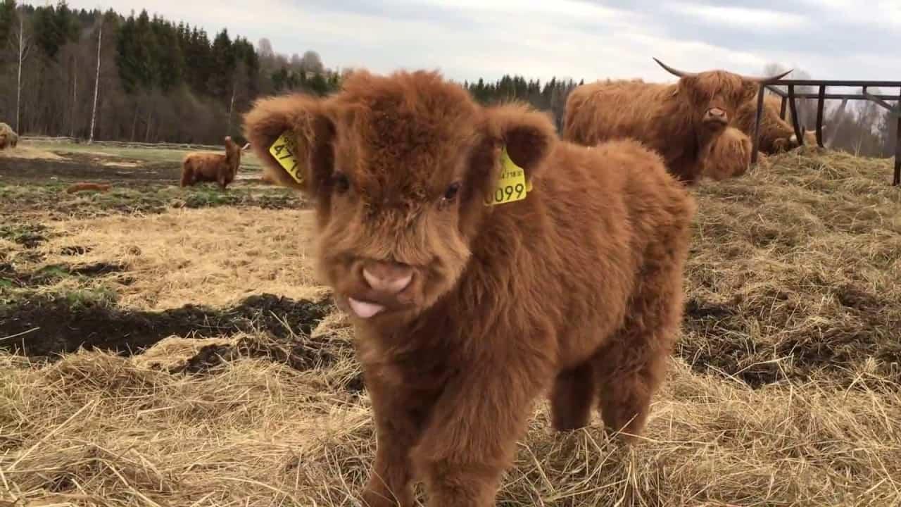 Mini Cows as Pets