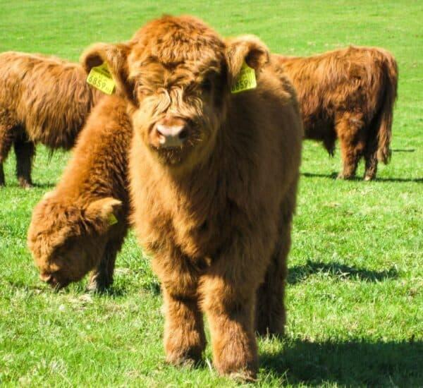 Miniature Cows