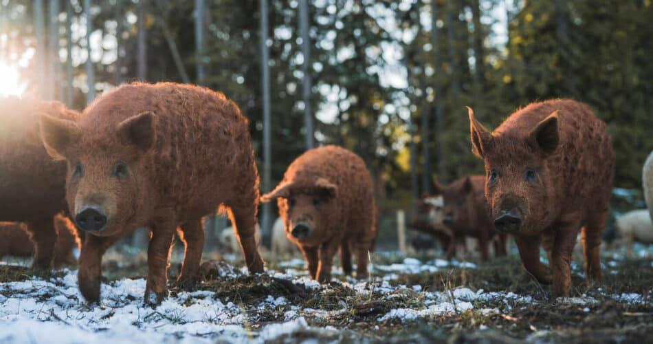 Red Haired Mangalitsa Pigs